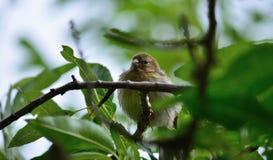 Jonge vogel in het midden van takken, serinus stock foto