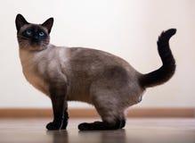 Jonge volwassen siamese kat Stock Foto's