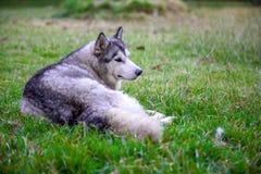 Jonge volwassen vrouwelijke Siberische schor ligt vreedzaam op de grond in het park stock foto's