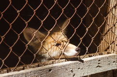 Jonge vos in een kooi royalty-vrije stock afbeelding