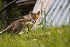 Jonge voswelp Royalty-vrije Stock Foto