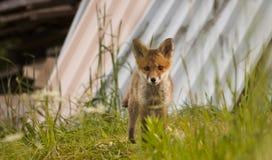 Jonge voswelp Royalty-vrije Stock Afbeelding