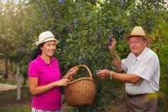 Jonge vrouw die een oudere man in de boomgaard helpen, om pruimen te plukken stock fotografie