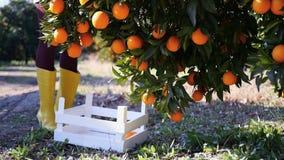 Jonge vrouw die rijpe sinaasappelen plukken stock footage