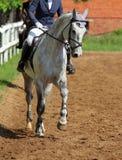 Jonge vrouw die Trakehner-paard berijden Royalty-vrije Stock Afbeeldingen