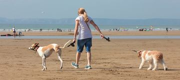 Jonge vrouw die twee honden op het strand Augustus 2018 lopen royalty-vrije stock fotografie