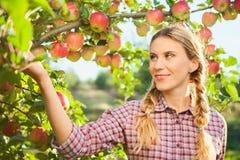 Jonge vrouw het plukken appelen van appelboom op een mooie zonnige som Stock Afbeelding