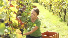 Jonge vrouw het plukken druiven stock videobeelden