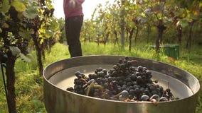 Jonge vrouw het plukken druiven stock footage