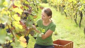 Jonge vrouw het plukken druiven stock video