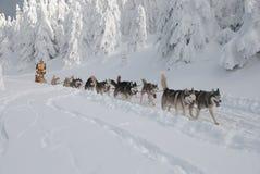 Jonge vrouw-musher en haar dogsled stock foto's