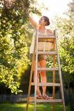 Jonge vrouw omhoog op ladder het plukken appelen van een appelboom Stock Afbeelding