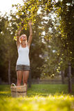 Jonge vrouw omhoog op ladder het plukken appelen van een appelboom Stock Foto's