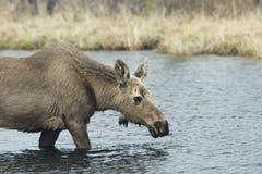 Jonge vrouwelijke Amerikaanse elanden Stock Afbeeldingen