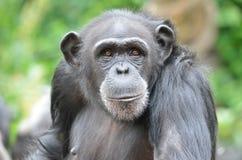 Jonge vrouwelijke chimpansee Stock Foto