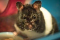 Jonge, vrouwelijke Hamster gezien bekijkend de fotograaf binnen haar kooi Stock Foto's