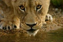 Jonge vrouwelijke leeuw Royalty-vrije Stock Afbeeldingen