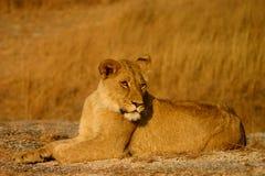 Jonge vrouwelijke leeuw Stock Fotografie