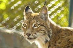Jonge vrouwelijke lynx Royalty-vrije Stock Foto