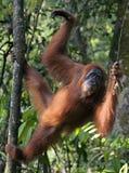 Jonge vrouwelijke orangoetan in de wildernis van noordelijke Sumatra Stock Foto