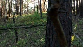 Jonge vrouwelijke wandelaar in bos langzame motie stock video