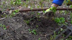 Jonge vrouwen gravende humus door hooivork Grondvoorbereiding voor het planten Met waterpijp Sluit omhoog Langzame motie 120fps stock videobeelden