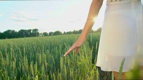 Jonge vrouwen` s hand, die door tarwegebied lopen in zonsondergang De meisjes` s hand wat betreft tarweoren sluit omhoog Het geni stock footage