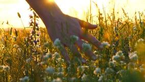 Jonge vrouwenhand die door een wild weidegebied overgaan Vrouwelijke hand wat betreft wild bloemenclose-up stock videobeelden
