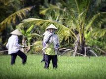Het cultiveren van rijst in Vietnam 2 Stock Foto's