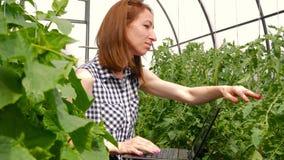 Jonge vrouwentuinman die met installaties in serre werken Een meisje die laptop, controles met behulp van hoe de tomaten en de ko stock footage