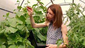 Jonge vrouwentuinman die met installaties in serre werken Een meisje die laptop, controles met behulp van hoe de tomaten en de ko stock videobeelden