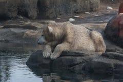 Jonge Vuile Ijsbeer op een Rots Royalty-vrije Stock Afbeeldingen