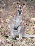 Jonge wallaby stock afbeelding