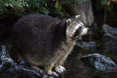 Jonge Wasbeer op steen Royalty-vrije Stock Afbeeldingen