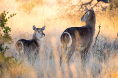 Jonge Waterbuck bij dageraad Royalty-vrije Stock Foto's