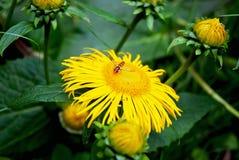 Jonge wesp op een gele bloem royalty-vrije stock afbeelding