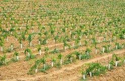 Jonge wijngaard in Chianti, Toscanië Stock Afbeeldingen