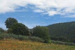 Jonge wijngaard, olijfbomen en cipres Royalty-vrije Stock Foto