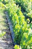 Jonge Wijngaarden Stock Foto