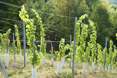Jonge wijnstok Stock Foto's