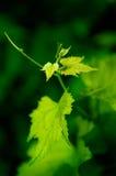Jonge wijnstok Royalty-vrije Stock Foto's