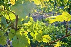 Jonge wijnstok in wineyard Close-up van wijnstok Wineyard bij de lente Zongloed Het landschap van de wijngaard Wijngaardrijen a Royalty-vrije Stock Foto