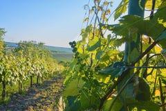 Jonge wijnstok in wineyard Close-up van wijnstok Wineyard bij de lente Zongloed Het landschap van de wijngaard Wijngaardrijen a Royalty-vrije Stock Foto's