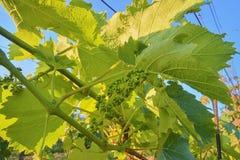 Jonge wijnstok in wineyard Close-up van wijnstok Wineyard bij de lente Zongloed Het landschap van de wijngaard Wijngaardrijen a Stock Foto