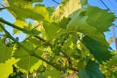 Jonge wijnstok in wineyard Close-up van wijnstok Wineyard bij de lente Zongloed Het landschap van de wijngaard Wijngaardrijen a Stock Fotografie