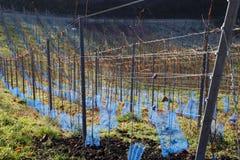 Jonge Wijnstokken in de Winter Stock Foto's