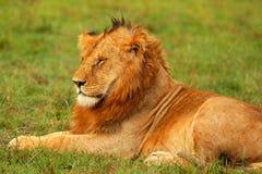 Jonge wilde Afrikaanse leeuw Stock Afbeeldingen