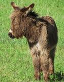 Jonge, wilde burro in Custer State Park, Zuid-Dakota royalty-vrije stock afbeeldingen