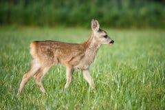Jonge wilde reeën in gras, Capreolus-capreolus Stock Foto's