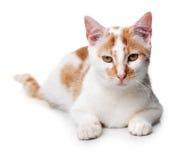 Jonge witte en rode kat Stock Afbeelding